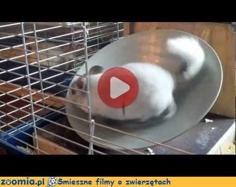 Szynszyli trening « Inne zwierzęta « Śmieszne filmy o zwierzętach - śmieszne koty, śmieszne psy. Zoomia.pl :: Zoomia pl