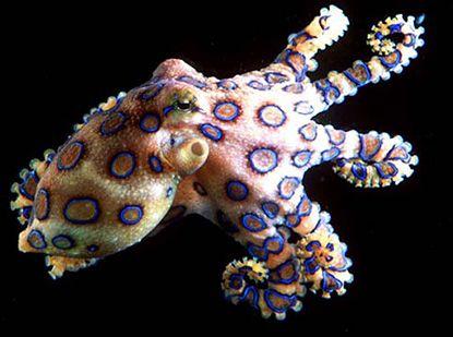 The Blue-ringed octopus (Hapalochlaena lunulata), one of the most venemous marine animals