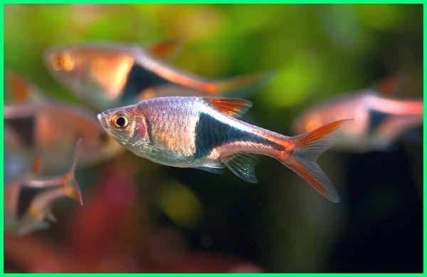 Panduan Lengkap Cara Merawat Ikan Hias Rasbora Harlequin Dunia Fauna Hewan Binatang Tumbuhan Ikan Binatang Hewan