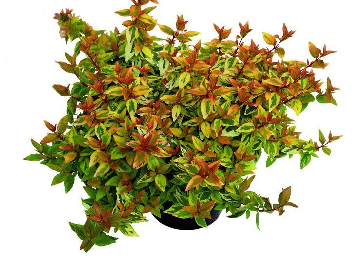 Абелия крупноцветковая (Abelia x grandiflora)
