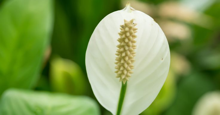 Lepelplant