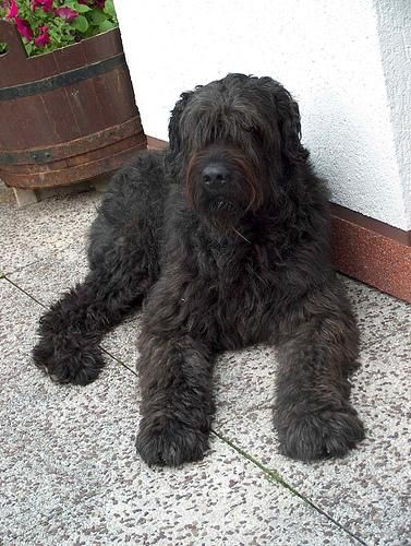 bouvier des flandres dog- I met one Saturday.  Fell in LOVE! Such an amazing dog!