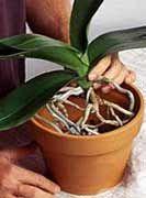 Trasplante de orquídeas