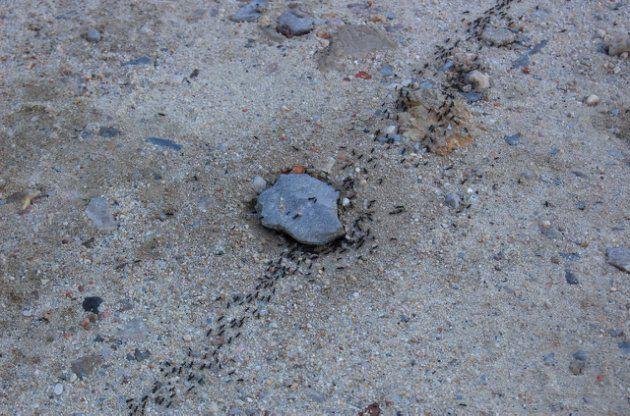 ¿Pueden las hormigas acabar con los atascos de coches? La manera en que las colonias de estos insectos se auto-organizan pueden servir para regular el tráfico de manera más eficiente - Fila de hormigas. ( Por Filipe 'shello' Rodrigues vía Flickr)
