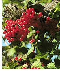 high_bush_cranberry.jpg (208×246)