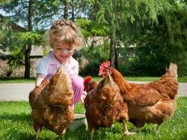 Los pollos poseen la capacidad de recuperar la audición