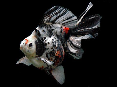 Calico Ryukin (Goldfish)