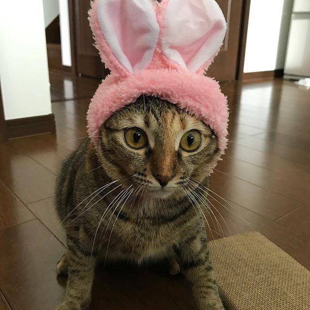 うさまめ🐰  #ねこうさぎちゃん  #これが欲しくて20年ぶりくらいにガチャガチャやった #似合いすぎ #うさ耳可愛い #本人はおこ  #むしろブチギレ #ちゅーるあげてご機嫌とり #cat #猫ライフ #愛猫 #猫のいる暮らし #にゃんすたぐらむ #ふわもこ #cats #catlover #catstagram #catinstagram #ilovecats