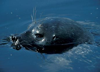 The Saimaa ringed seal (Phoca hispida saimensis). Photo: Tero Sipilä