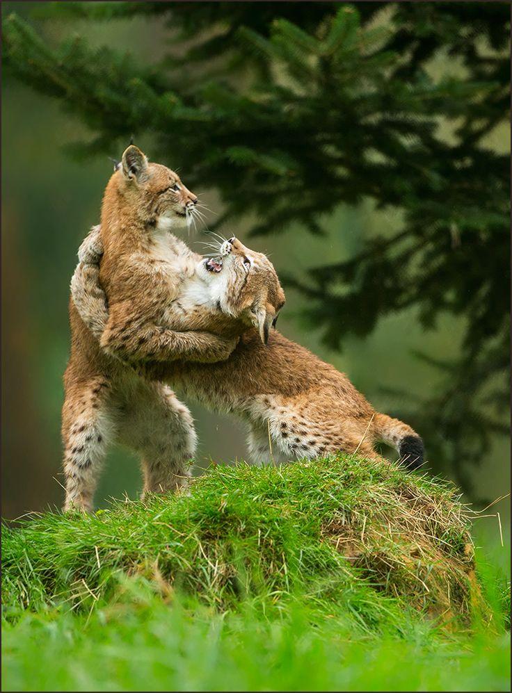 "beautiful-wildlife: ""Wrestling by Barbara A.S. """