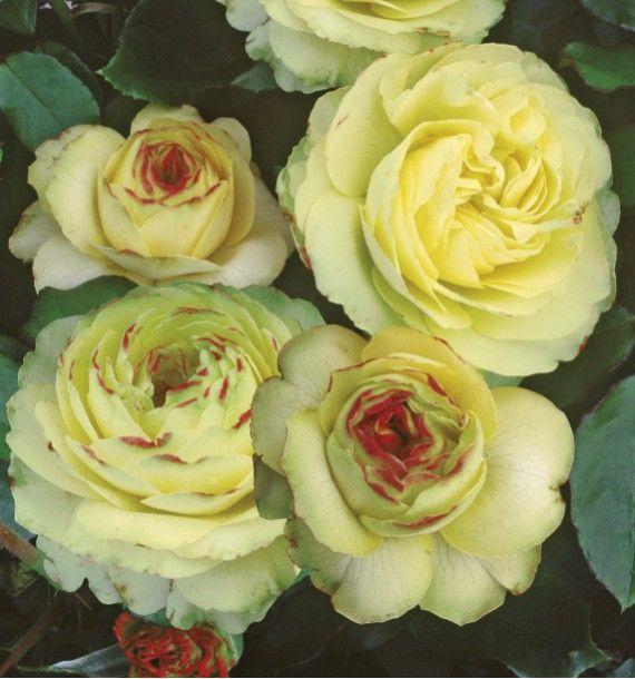 English Rose SHERWOOD®HARGLOBE