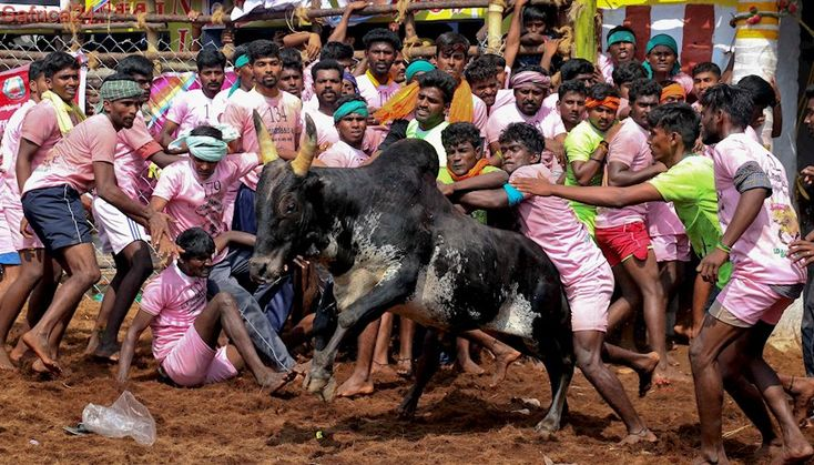 Five killed, more than 70 injured at Indian bull-taming events