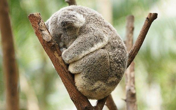 !!: Sleep Koalas, Aww, Cute Animal, Pet, Naps Time, Koalas Bears, Sleepy Koalas, Adorable Animal, Furry Friends