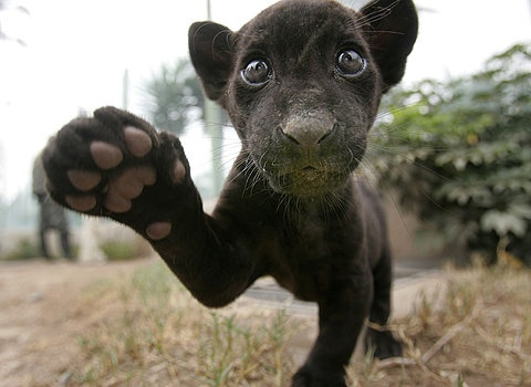 .Hi there: Big Cat, High Five, Baby Jaguar, Black Baby, Black Jaguar, Black Panthers, Baby Panthers, Baby Animal, Funny Animal