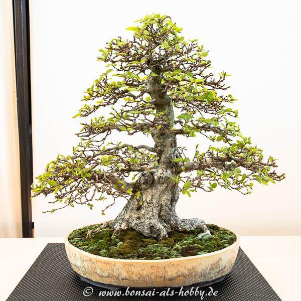 die besten 17 ideen zu hainbuche auf pinterest buchsbaum. Black Bedroom Furniture Sets. Home Design Ideas