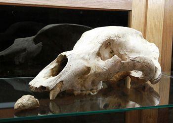 Crâne d'ours Mas d'Azil