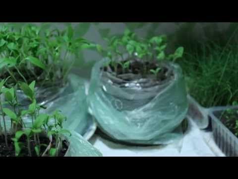 Egy új módja a telepítési paradicsom, padlizsán és paprika palántáka