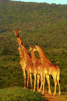 © OT Afrique du Sud - Parc Kruger - Afrique du Sud