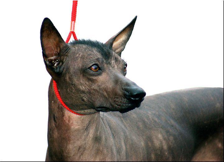 142 Best Hairless Dog Awesomeness Images On Pinterest
