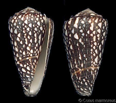 Conus (Conus) marmoreus crosseanus lineata (f)  Crosse, H., 1878   Shell size 70 mm   New Caledonia