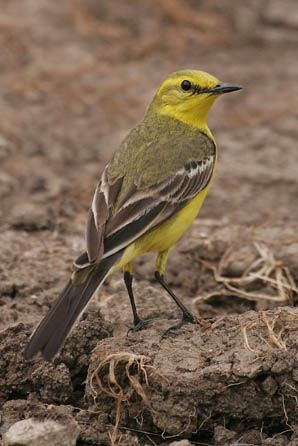 wag tails | Wildlife Extra News - Yellow Wagtails Prefer Spuds to Beans