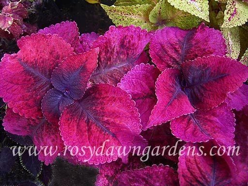 """Mariposa     Coleus 'Mariposa' (large 18""""+; upright)  Very large, textured leaves are dark purple that transitions to a deep pink edge.  Mature leaves take on a lighter pink edge that sets off the new growth. Very rich and royal appearance."""
