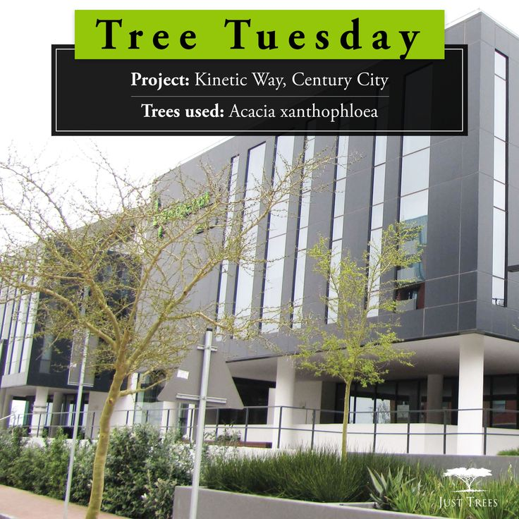 We love this example of opposites working together to create harmony. The dark angular shapes of the buildings at Kinetic Way, Century City, are softened wonderfully by the warm greenery surrounding them. In 2016 we provided 400L and 1000L Acacia xanthophloea to be used in this project headed up by Cape Contours and Alistair Turrell of Planning Partners. What a great outcome!