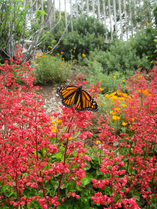 Monarch Butterfly on Heuchera Santa Ana Cardinal on Parking Lot Bank at Santa Barbara Botanic Garden. Photo by Betsy Collins. The spring native plant sale takes place at Santa Barbara Botanic Garden for the entire month of April. http://sbseasons.com/2017/03/spring-native-plant-sale-at-santa-barbara-botanic-garden/ #sbseasons #sb #santabarbara #SBSeasonsMagazine #SBBotanicGarden #SBGardens  To subscribe visit sbseasons.com/subscribe.html
