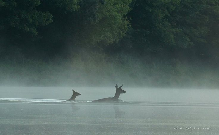 Deers @ the beautiful Gemenc forest in Hungary
