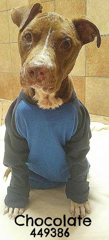 American Staffordshire Terrier dog for Adoption in San Antonio, TX. ADN-666370 on PuppyFinder.com Gender: Male. Age: Adult