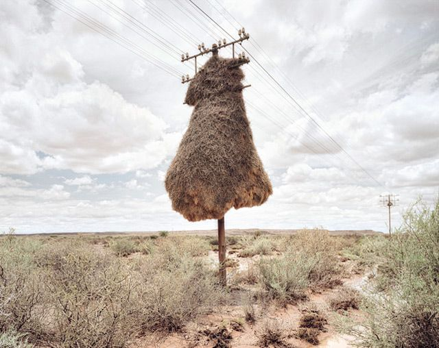 Massive bird nests built on telephone poles in southern africa—home to multiple species of birds.