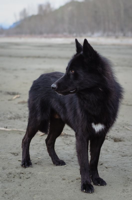 alaskan noble companion dog yarrow - Google Search