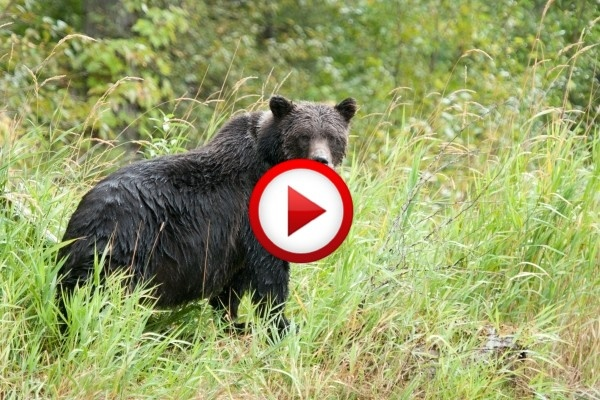 Wolves Vs Grizzly Bears Video #animals, #be4ars, #videos, https://facebook.com/apps/application.php?id=106186096099420