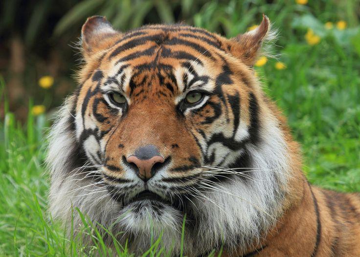 Padang, South Lakes Wild Animal Park's male Sumatran Tiger.