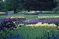 Tulips   Albany,NY