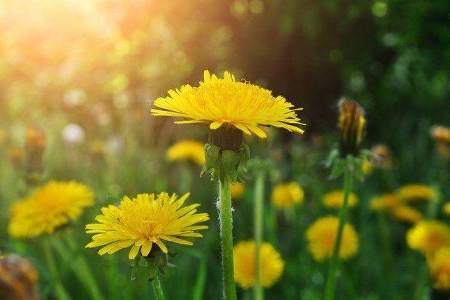 E vremea lor, a papadiilor. Orice petic de iarba a fost invadat de aceste plante pe care multa lume le considera buruieni din cauza faptului ca se raspandesc rapid si cresc pe unde apuca. Papadiile au insa o multime de beneficii nutritionale si, potrivit unor studii recente, au si proprietati