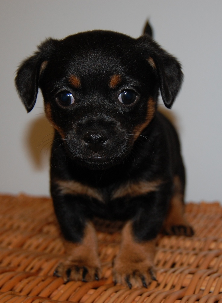 25  best ideas about chihuahua mix puppies on pinterest