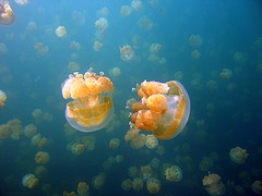 jellyfish in kakaban lake. visit derawan island, borneo, Indonesia (: