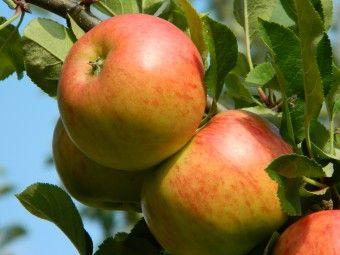Malus 'Red Sensation' (Malus domestica 'Red Sensation, zuilappel, kolomappel, Ballerina appelboom, minitree appel)  Traaggroeiende appelboom, geschikt voor in pot voor op het balkon en terras. Rijptijd half september. zacht zure tot zoete smaak.  De geelgroene stevige appels van Malus domestica 'Red Sensation' (lijkt veel op de 'Rode Jonathan') groeien rechtstreeks op de stam waardoor de bomen heel smal, zo'n 40 cm, kunnen blijven.