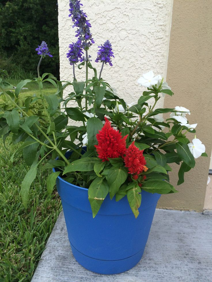 Red Celosia Blue Salvia And White Impatiens