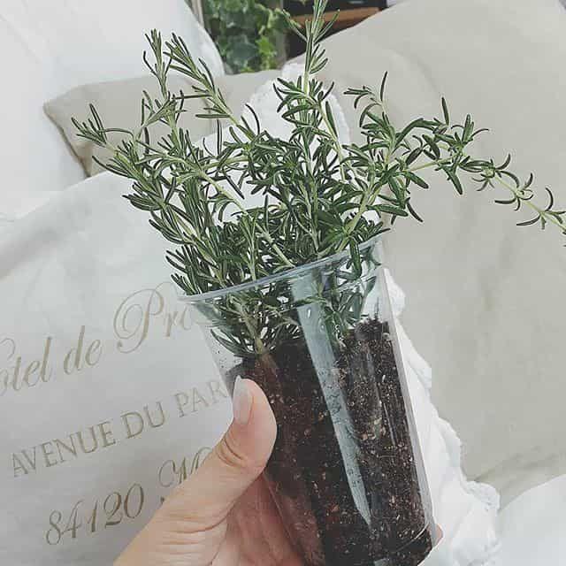 マリー 育て 方 ローズ ハーブの種類【ローズマリー】代表的な品種とおすすめの品種や種類