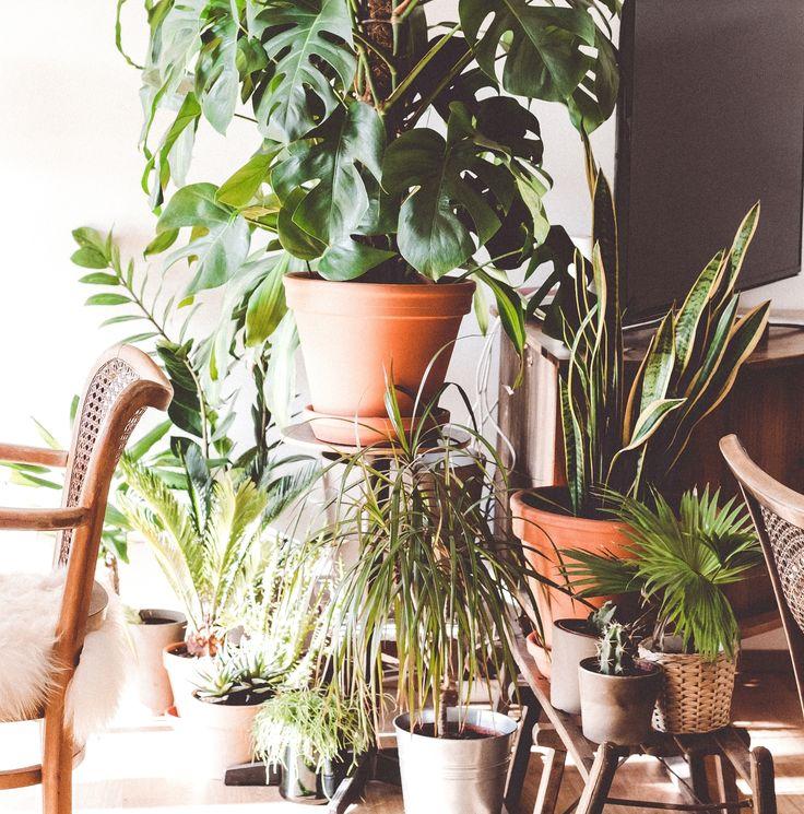Wil je jouw urban jungle op een verantwoorde manier uitbreiden of een mooie kamerplant aanschaffen neem dan eens een kijkje bij één van de plantenasielen in ons land. Hier worden planten die niet meer gewenst zijn op hun oude adres verzorgd en wordt er gezocht naar een geschikte nieuwe eigenaar. wp.me/p54bIq-2hQ