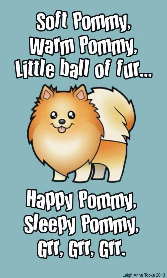 ...all Pomeranians are soft and warm!