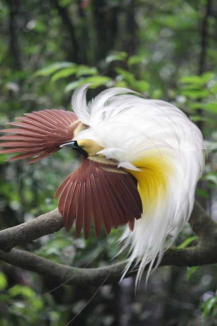 i♥Nature  |  ..'Greater #Bird of Paradise' ..beautiful fluffy white feathers (pic by Shappa)