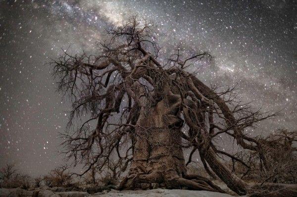 """""""Hercules"""" : constellation d'Hercule - Arbres les plus vieux d'Afrique"""