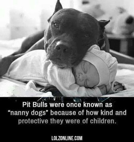 Pit Bulls Were Once Known As Nanny Dogs Because...#funny #lol #lolzonline