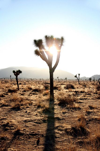 Gekke bomen in Joshua Tree, lees meer over de nationale parken in noord amerika op www.wearetravellers.nl