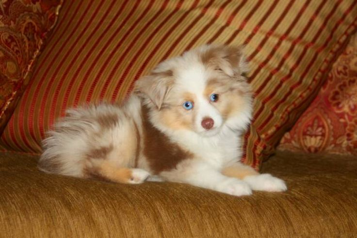 Lovely Mini Aussies from Blue Horizon Toy Aussies