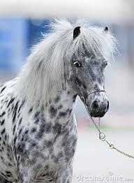 Resultado de imagen para appaloosa horse