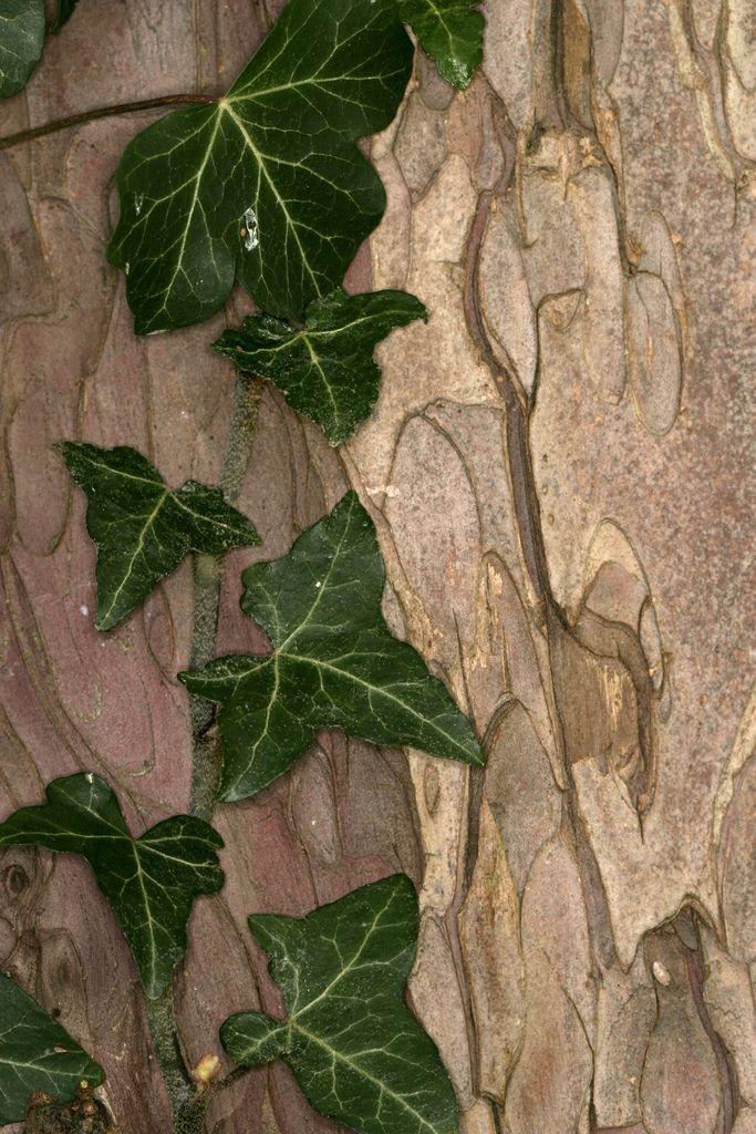 Ivy on Scots Pine | por Ian Hayhurst
